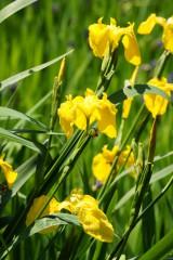 カキツバタの花・黄色1