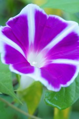 アサガオ 花・白と紫 アップ