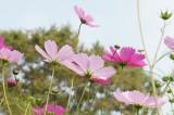 コスモス 花(下から・色明るめ)