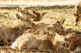 奈良の鹿・側面・複数