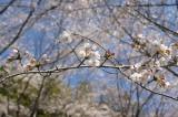 明日香村・石舞台の桜3