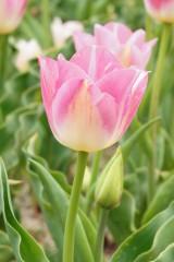 チューリップの花 ピンク