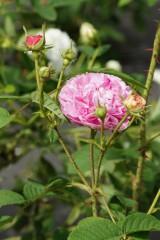 バラの花・ピンク4