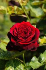 バラの花(万博公園)・紅1