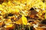 地面一面のイチョウの葉2