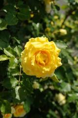 バラの花(万博公園)・黄色3