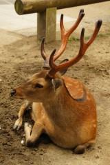 奈良の鹿・側面15