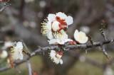 梅の花・つぼみ・枝