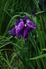 ショウブ 花・紫7