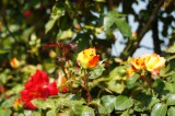 バラ 花(万博公園)・赤と黄色3