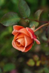 バラの花 赤・オレンジ3