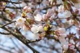明日香村・石舞台 桜1