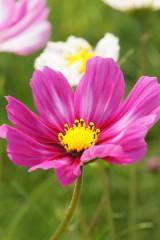 コスモス 花・濃いピンク
