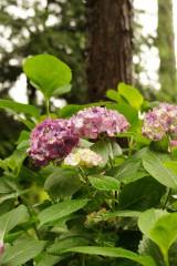 アジサイの花・ピンク6