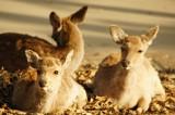 奈良の鹿 3匹