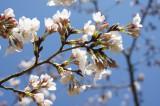 明日香村・石舞台の桜23