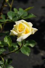 バラ 花(万博公園)・黄色1