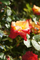 バラ 花(万博公園)・赤と黄色7