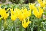 チューリップ 花 黄色4