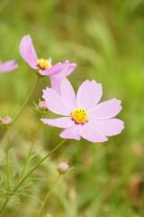 コスモスの花(ピンク)1