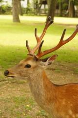 奈良の鹿・側面10