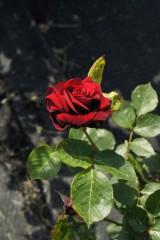 バラ 花(万博公園)・紅8