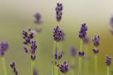 ラベンダー(濃紫)6