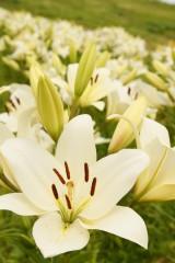 ユリ 花とつぼみ・白8