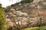 吉野・上千本の桜(4/15)