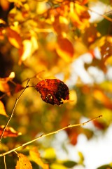 紅葉した葉1