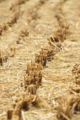稲を刈り取った跡4