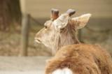 奈良 鹿・側面3
