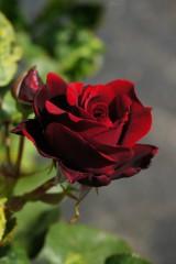 バラの花(万博公園)・紅2