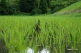 水田・稲作4