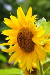 ひまわり 花・黄色2