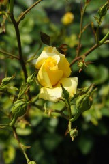 バラの花(万博公園)・黄色7