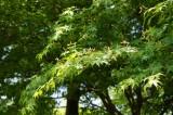 もみじの葉・枝(緑)1