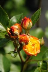 バラ 花(万博公園)・赤と黄色5