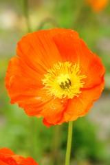 ポピー 花 オレンジ1