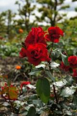 バラの花畑・紅3