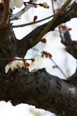 梅の花・ハチ