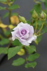 バラの花・薄紫4