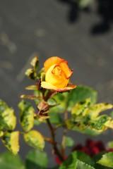 バラ 花(万博公園)・赤と黄色2