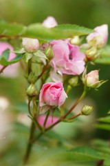 バラのつぼみ・ピンク