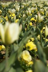 白いチューリップの花畑4
