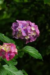 アジサイの花・紫1