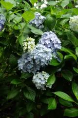 アジサイの花・青・薄紫4