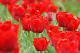 チューリップ(赤) 花畑1