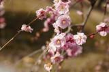 梅の花12