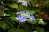 アジサイの花・青・薄紫21
